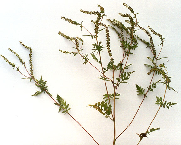 Ragweed Identification
