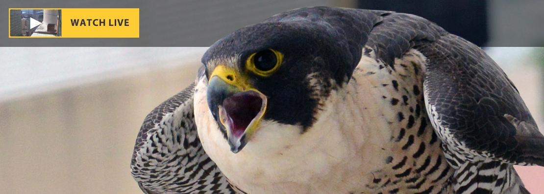 Falcon Header Image