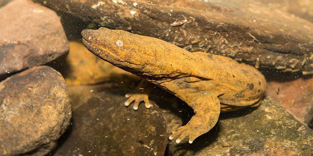 How Restoring the Health of PA's Waters Helps the Hellbender (and the Chesapeake Bay!)