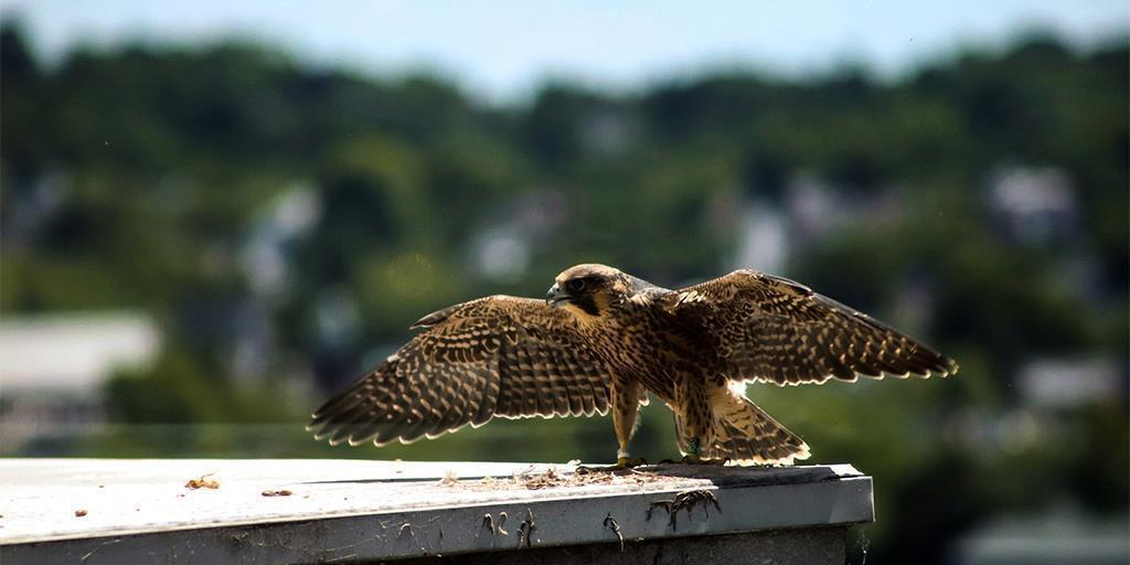 Falcon Watch Wrap-Up: Four Young Peregrines Take to the Sky, with a Little Help from Friends