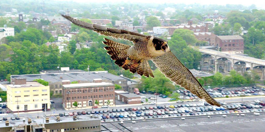 Peregrine Falcons Soar in PA as Earth Day Celebrates 50 Years